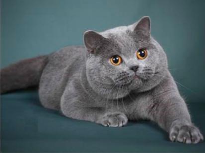 新加坡猫怎么养?平时吃什么?新加坡猫日常饲养