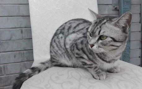 超受欢迎的四种小型猫咪,你喜欢哪一种?