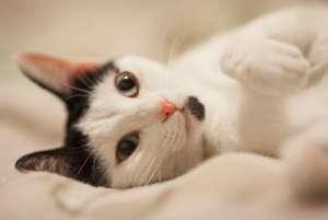 猫发情跑了怎么办 猫发情有哪些主要表现