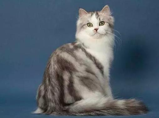 猫咪吃太多肚子胀气怎么调理?