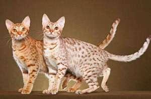奥西猫的形态特征 毛发柔软而有光泽