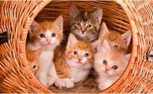 纯种猫咪?非纯种猫咪?究竟选哪个比较好?