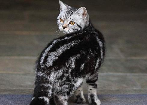 中华田园猫有哪些品种?