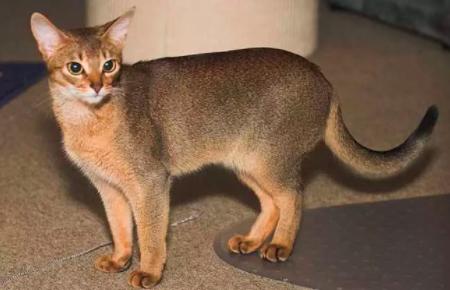 哈瓦那棕猫怎么挑选 哈瓦那棕猫注意挑选技巧