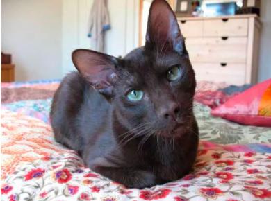 猫咪得耳螨的原因 猫得了耳螨怎么治疗