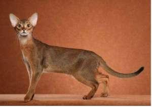 阿比西尼亚猫品种介绍