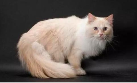 褴褛猫的饲养与训练要哪些要注意?