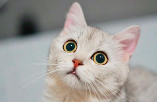 一款治疗猫瘟的偏方和自制猫罐头