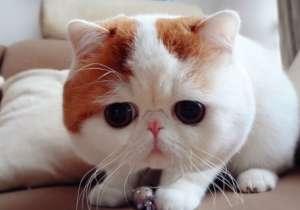 猫咪不慎尾巴断了怎么办?