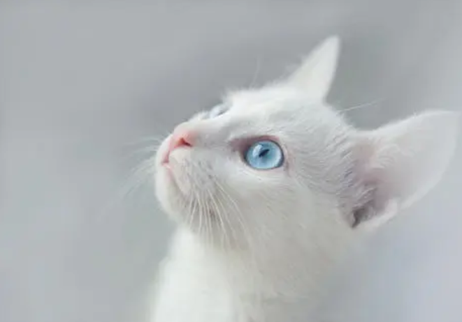 跳蚤对猫咪有哪些危害?