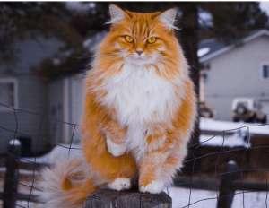如何挑选挪威森林猫,方法很可靠!