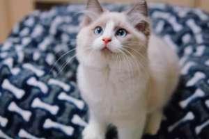 漂亮的布偶猫有哪些选购技巧